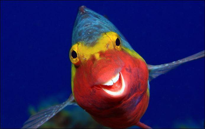 سمكة ببغاء تضحك