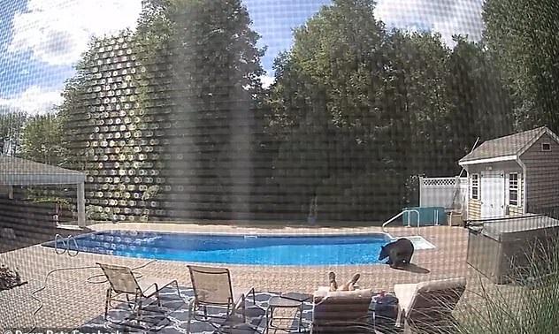 دب يظهر على حمام السباحة