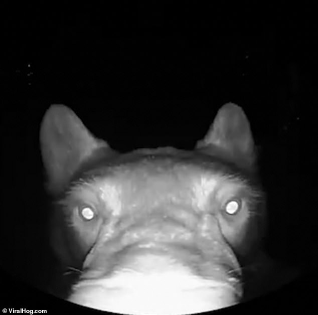 الدب يضع أنفه أمام كاميرا المراقبة