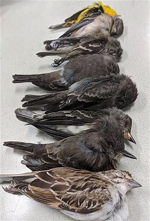 نفوق الطيور فى أمريكا (2)