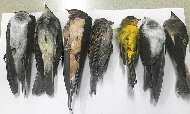 نفوق الطيور فى أمريكا (3)