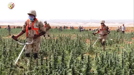 القوات المسلحة المصرية تلتقط صورا لمناطق الزراعات المخدرة بجنوب سيناء (2)