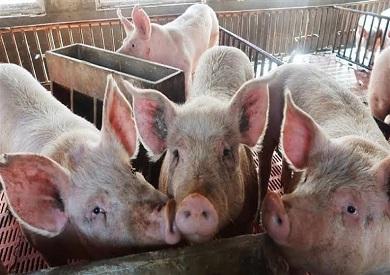 الخنازير البرية