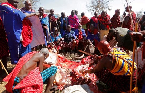 رجال الماساي يعدون ولائم الطعام للاحتفال