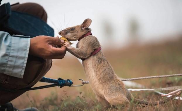 الفأر يحصل على مكافأة طعام