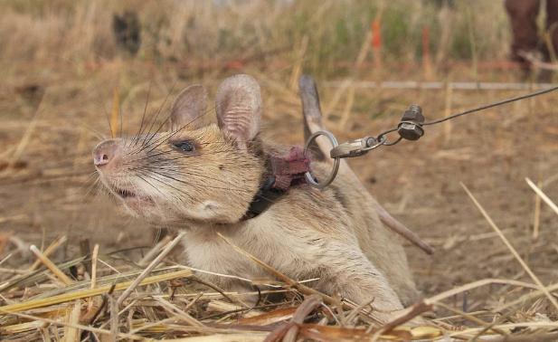 الفأر ماجوا