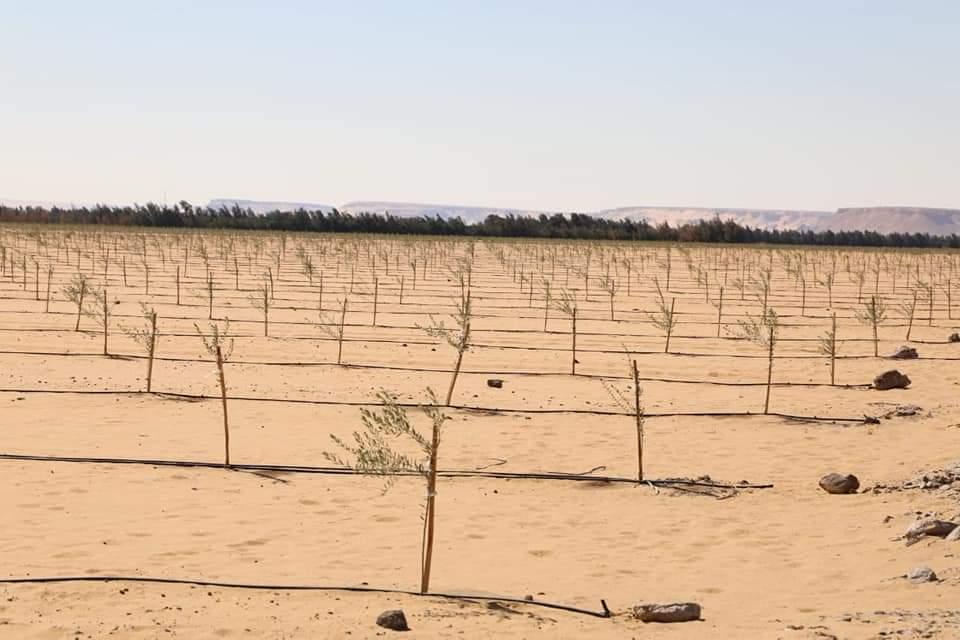 مشروع زراعة وإنتاج الزيتون بأبو منقار (1)