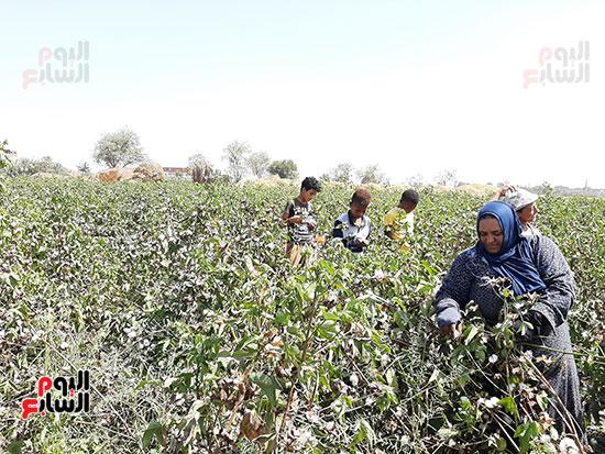 جمع-محصول-القطن--(2)