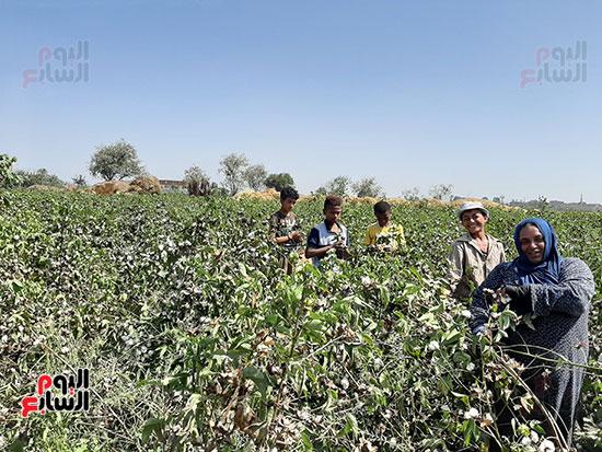 جمع-محصول-القطن--(1)