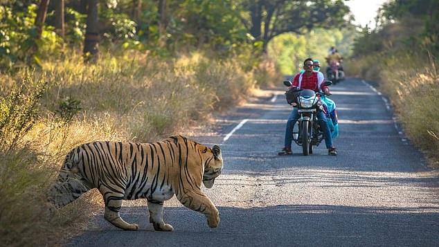 نمر يعترض السائقين بإحدى شوارع الهند (1)