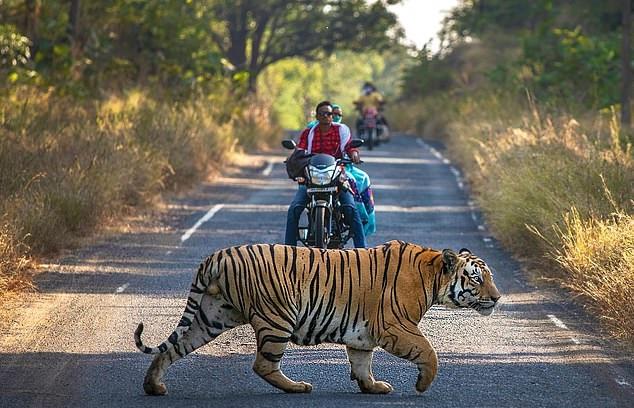 نمر يعترض السائقين بإحدى شوارع الهند (2)