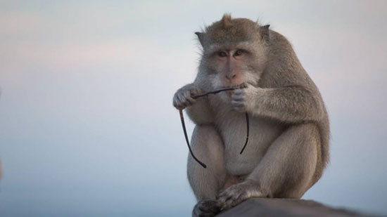 عصابة القرود (2)