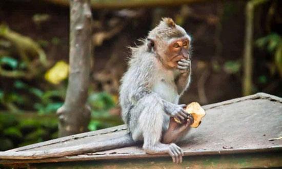عصابة القرود (3)