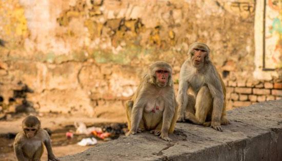 عصابة القرود (1)