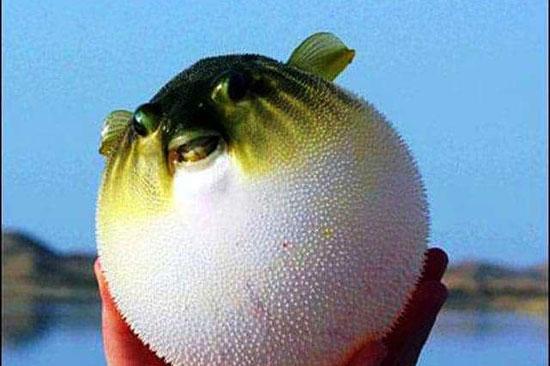 1202118165910561-سمكة-البالون