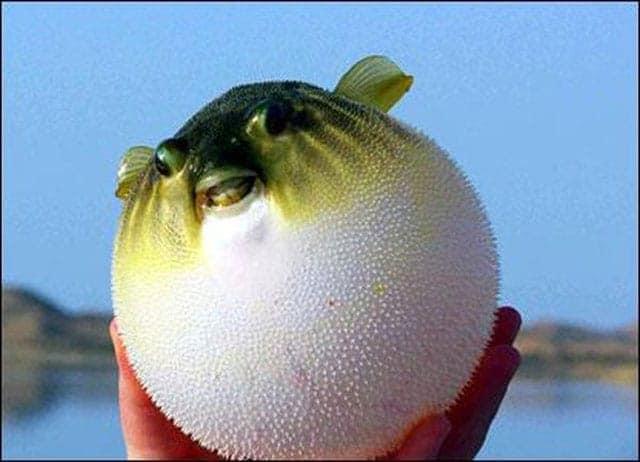 سمكة البالون