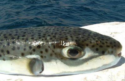 سمكة القراض