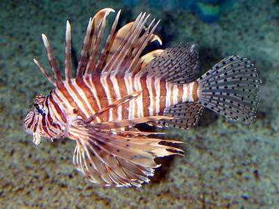 سمكة دجاج البحر
