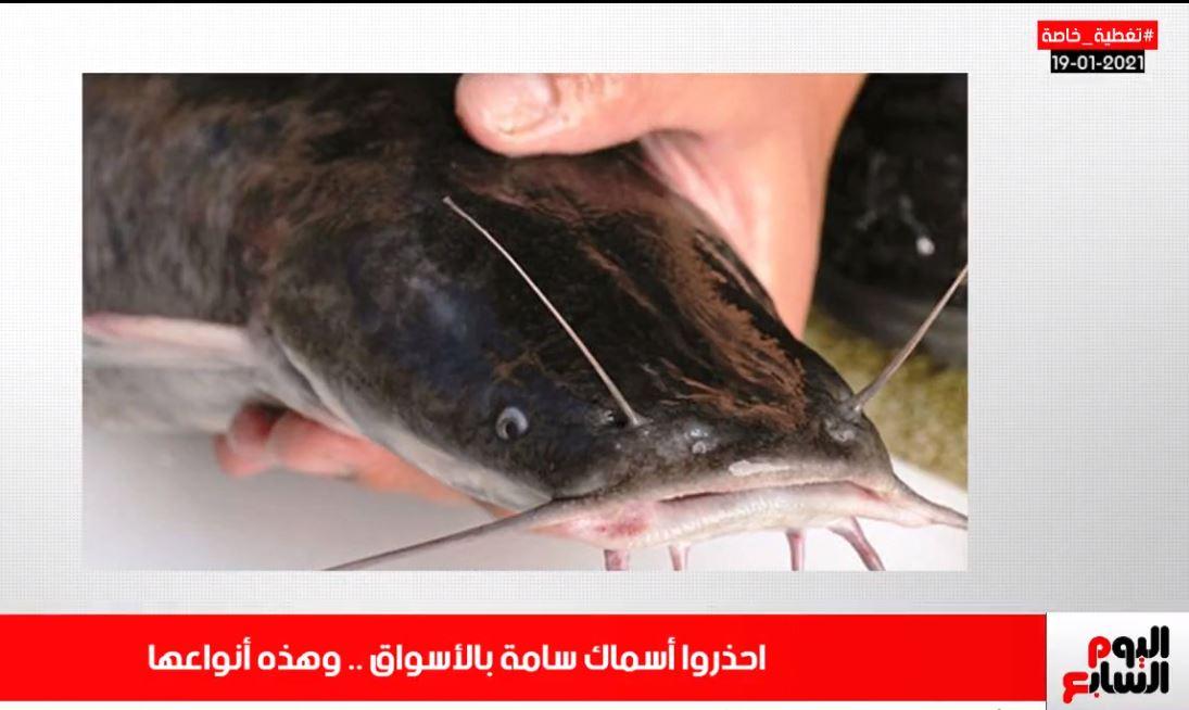 تغطية تليفزيون اليوم السابع حول الأسماك السامة