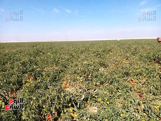 وزيرا الزراعة والرى يتفقدان مزرعة الطماطم (4)