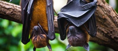 nipah bats 500x217
