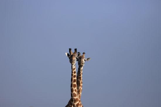 زرافتان قزمتان بأوغندا وناميبيا  (3)