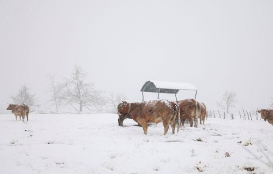 الثلوج تتساقط على الحيوانات