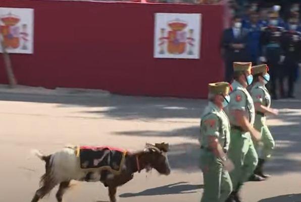الماعز تشارك في العرض العسكرى
