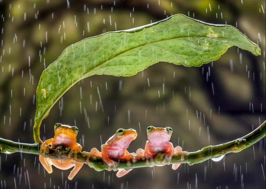 الضفادع تحتمى من المطر