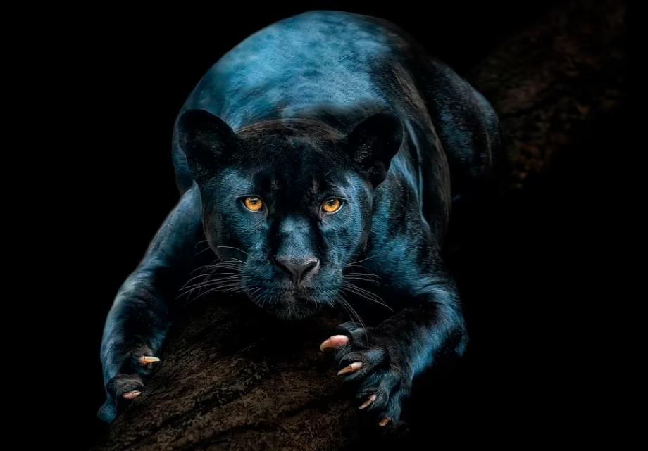 أنثى جاكوار سوداء وهي جزء من برنامج الأنواع المهددة بالانقراض الأوروبي