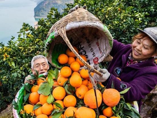 جني البرتقال