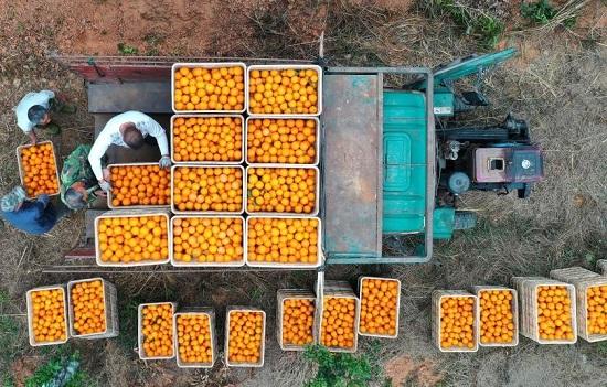 نقل البرتقال