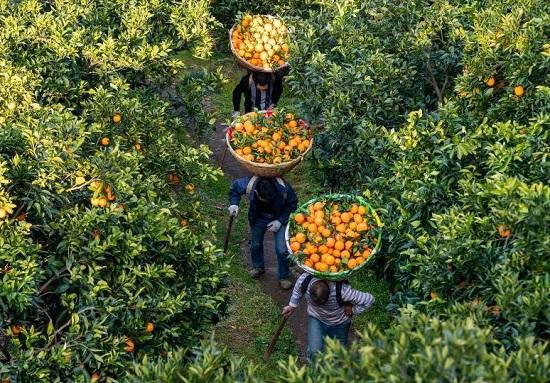 حمل البرتقال