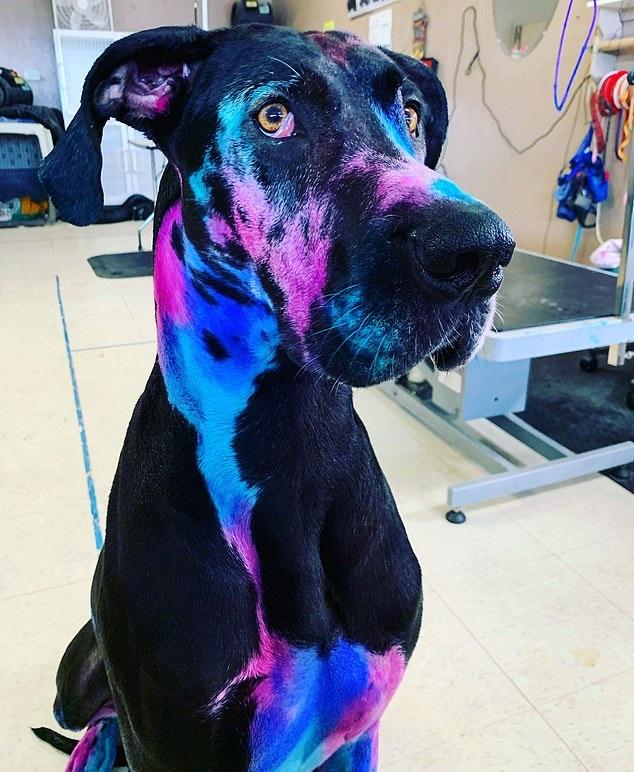 أمريكية تصبغ كلبها الدنماركى بالألوان المضيئة (3)
