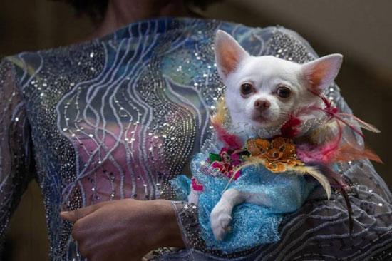 الكلاب عارضات الأزياء (7)