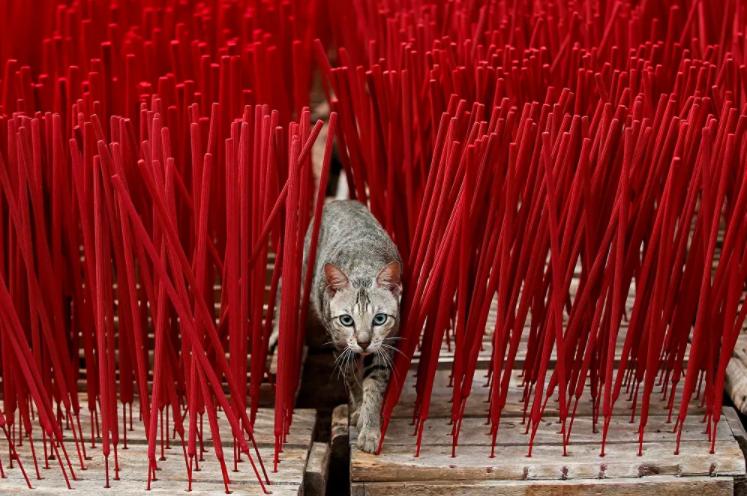 قطة تسير بين أعواد البخور التي تجف داخل المصنع