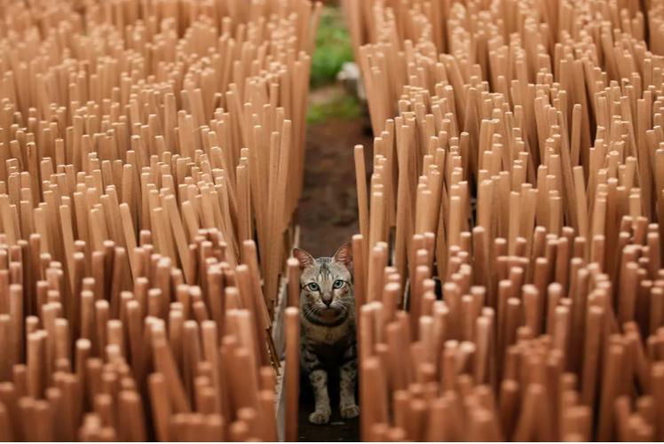 قطة بين أعواد البخور التي تجف داخل المصنع