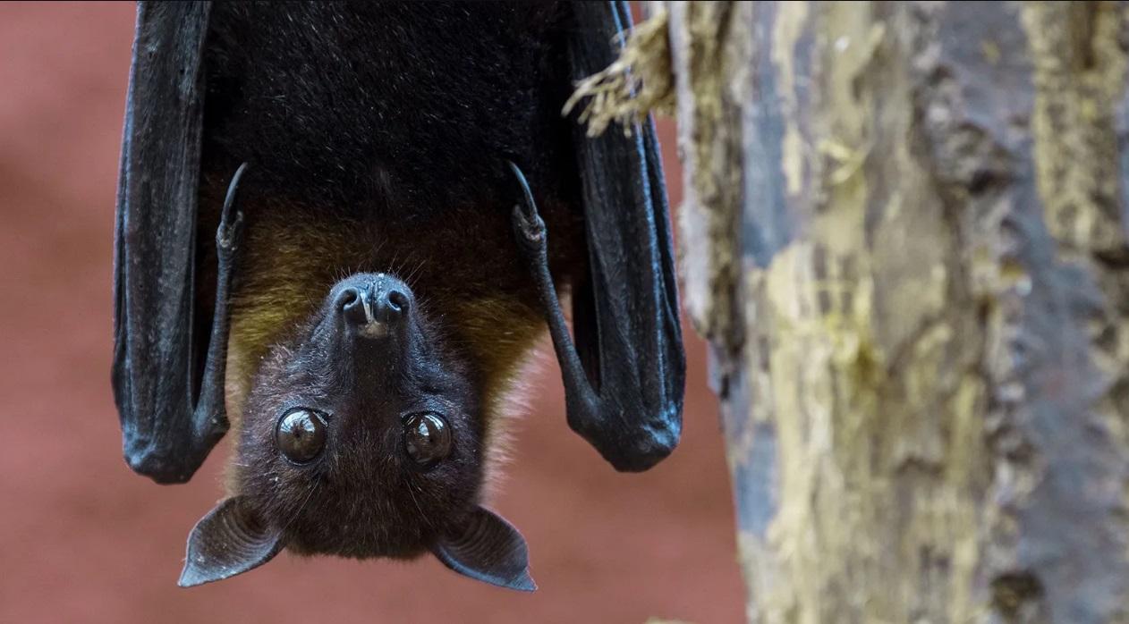 الخفاش المتهم الاول فى الاصابة بفيروس نيباه