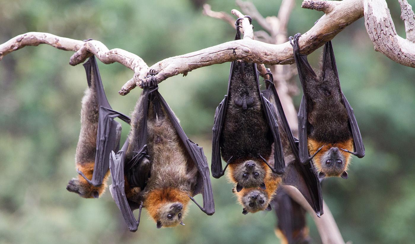 فيروس نيباه ينتقل من خلال الخفافيش