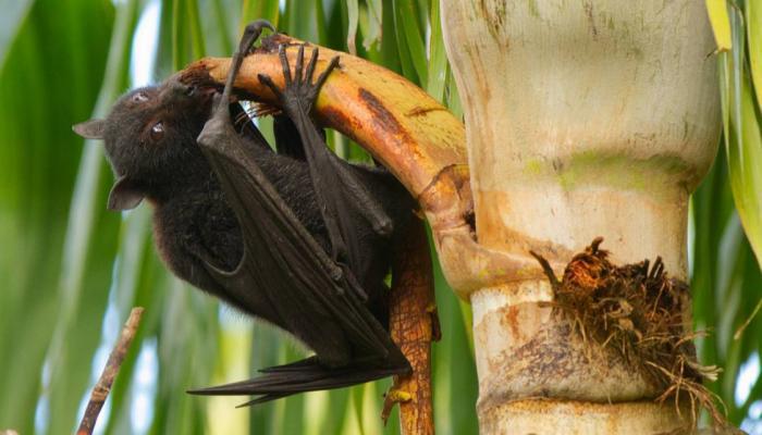 الخفافيش وفيروس نيباه