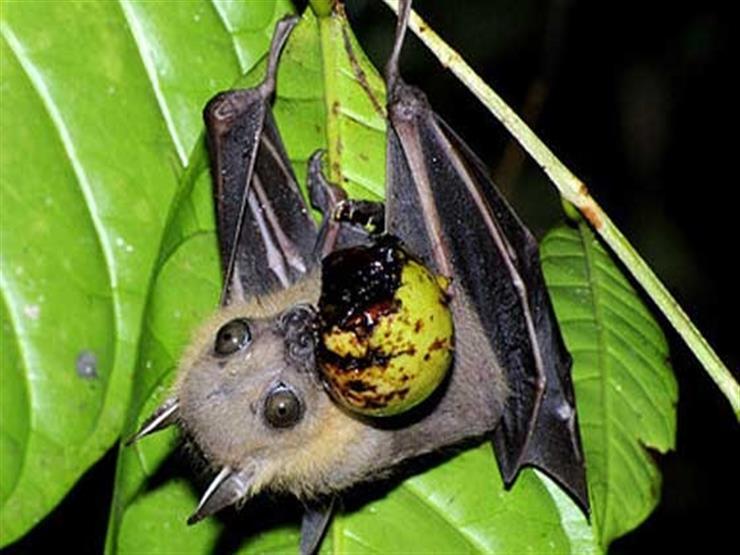 خفافيش الفاكهة