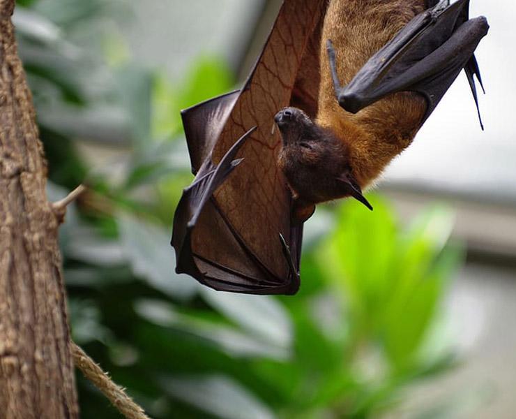 الخفاش سبب انتقال الفيروسات للبشر