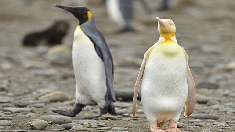 البطريق الأصفر