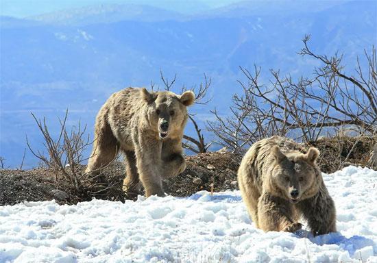الدب البنى (6)