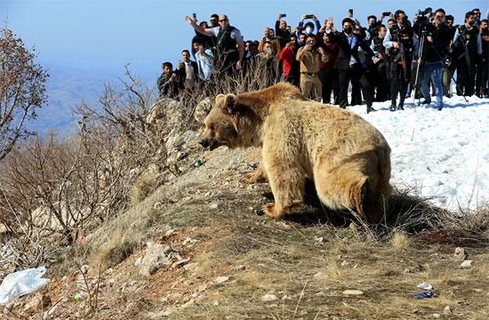 الدب البنى (1)