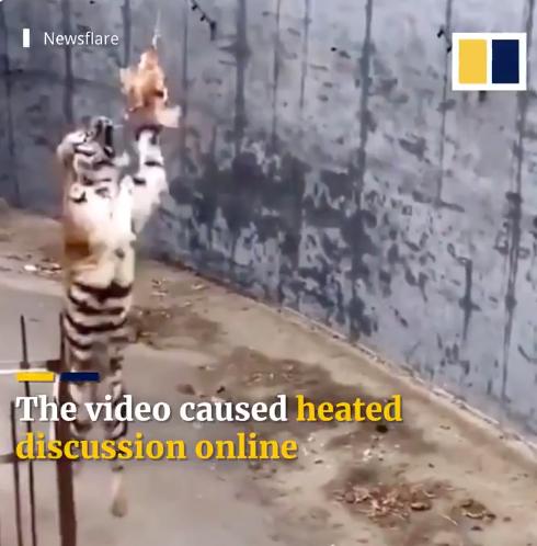 النمر يحاول اكل الدجاجة