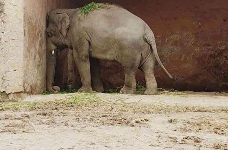 الفيل كافان