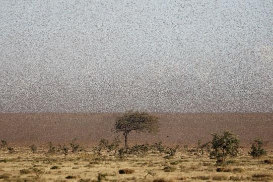 الجراد فى كينيا (13)