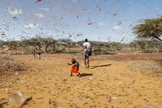 الجراد فى كينيا (1)