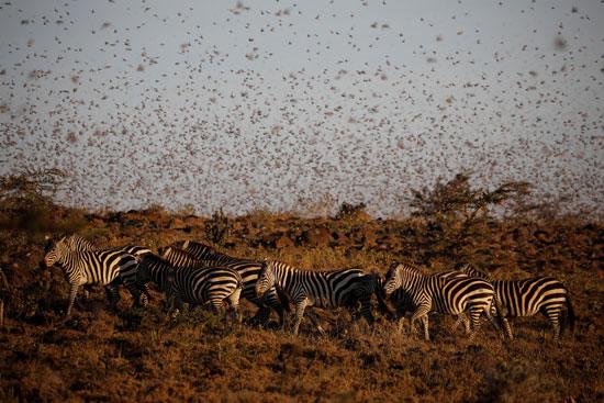 الجراد فى كينيا (6)